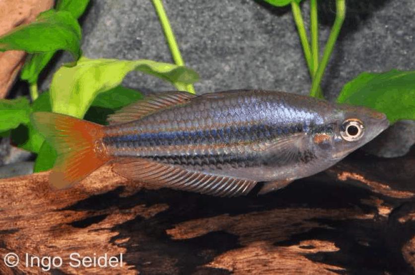 Melanotaenia splendida australis - Juwelen-Regenbogenfisch 1