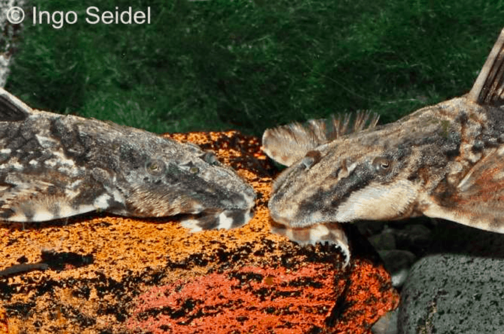 Im Vergleich: R. heteroptera links, R. lanceolata rechts Foto: aqua-global - Dr. Jander & Co. OHG
