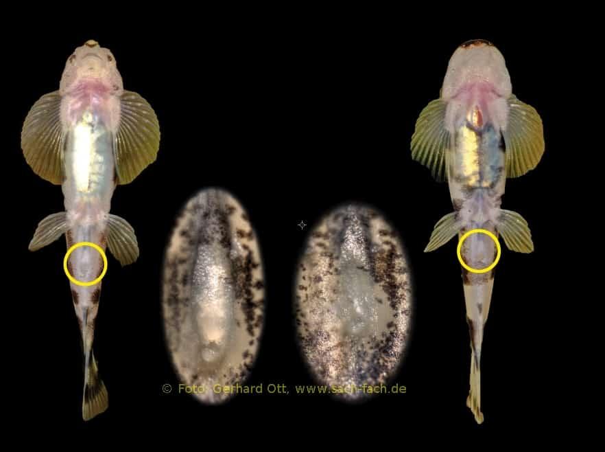 Foto: Ott - Geschlechtsunterschiede anhand der Genitalpapille: links Männchen, rechts Weibchen