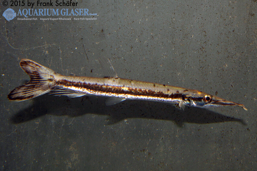 Boulengerella cuvieri 4