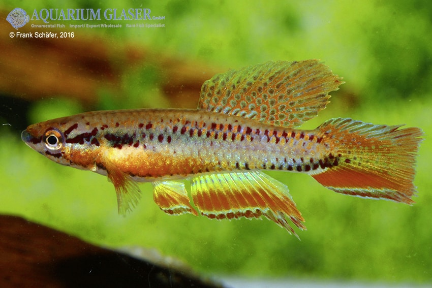Chromaphyosemion bitaeniatum Lagos 2