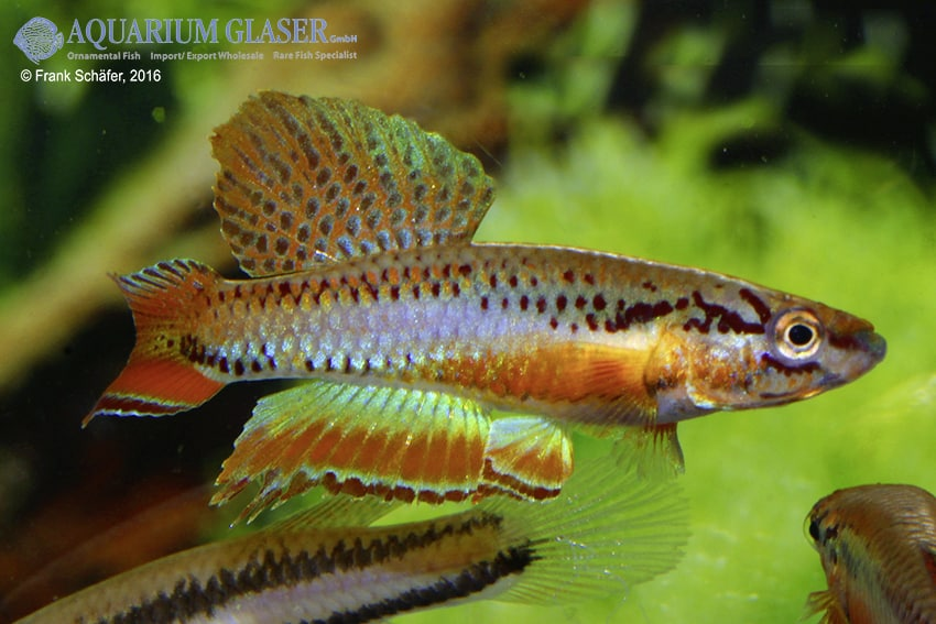 Chromaphyosemion bitaeniatum Lagos 3