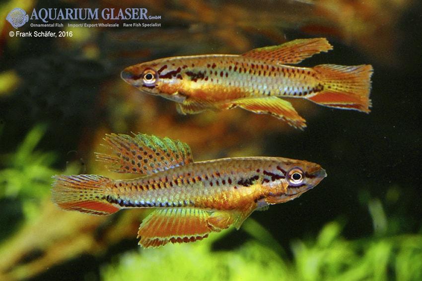 Chromaphyosemion bitaeniatum Lagos 4