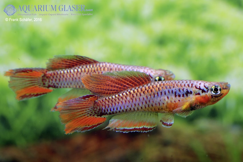 Chromaphyosemion bitaeniatum Lagos 8