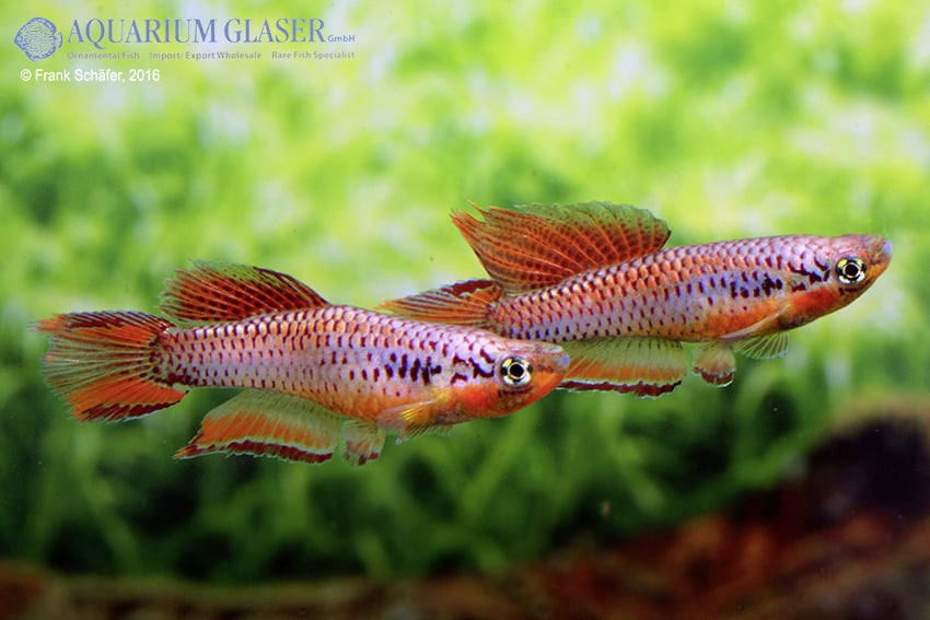 Chromaphyosemion bitaeniatum Lagos 9