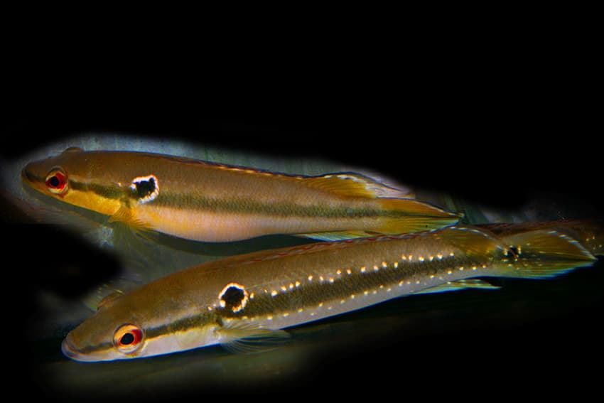 Paar - Foto: Aquarium Glaser - Frank Schäfer