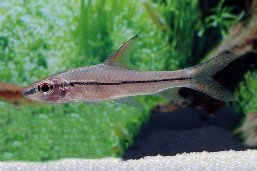 Cyclocheilichthys janthochir 1