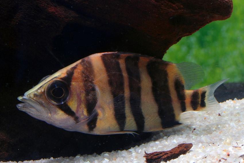 Datnioides microlepis - Tigerbarsch 1
