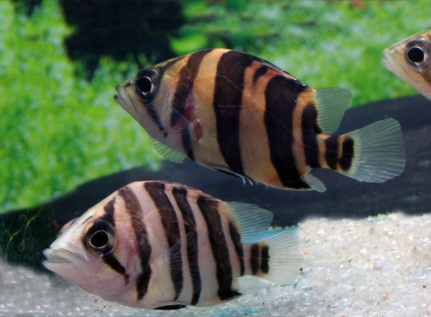 Datnioides microlepis - Tigerbarsch 3