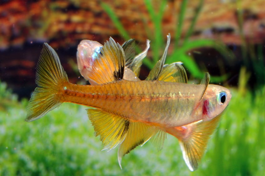 Pseudomugil signifer GAP CREEK - Regenbogenfisch 6
