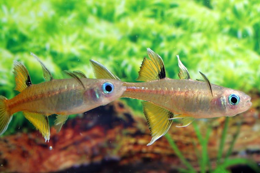 Pseudomugil signifer GAP CREEK - Regenbogenfisch 1