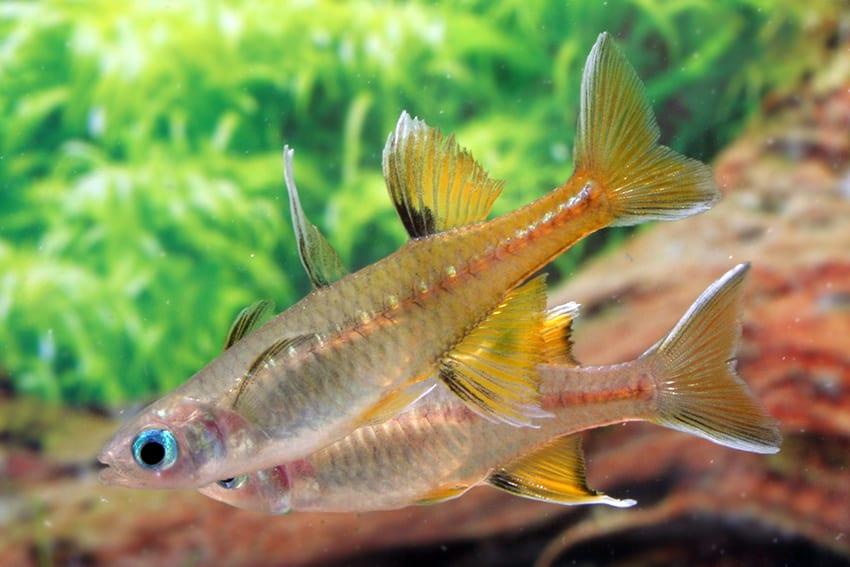 Pseudomugil signifer GAP CREEK - Regenbogenfisch 3