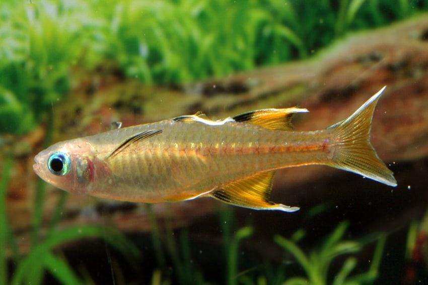 Pseudomugil signifer GAP CREEK - Regenbogenfisch 4
