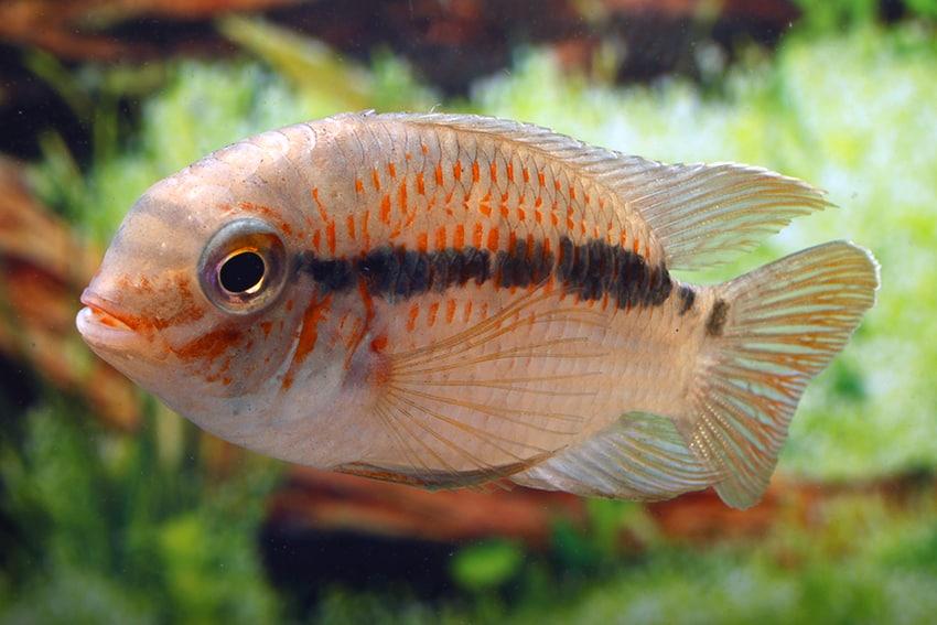 Männchen - Foto: Aquarium Glaser - Frank Schäfer