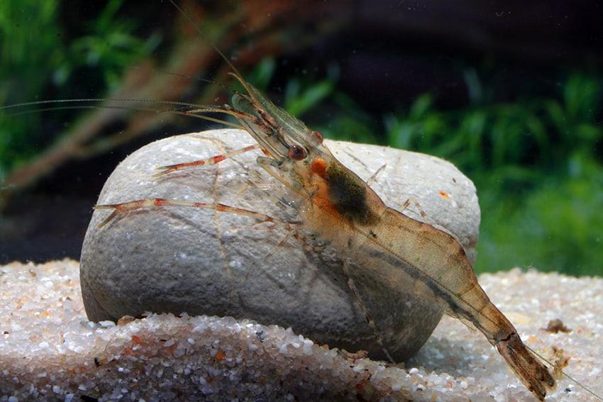 Bunte Pracht im Becken: Garnelen 6