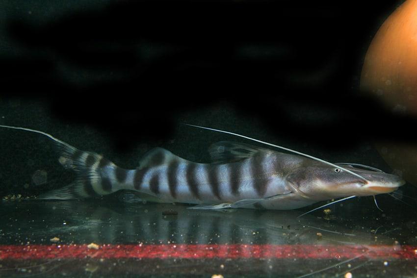 Merodontotus tigrinus 4