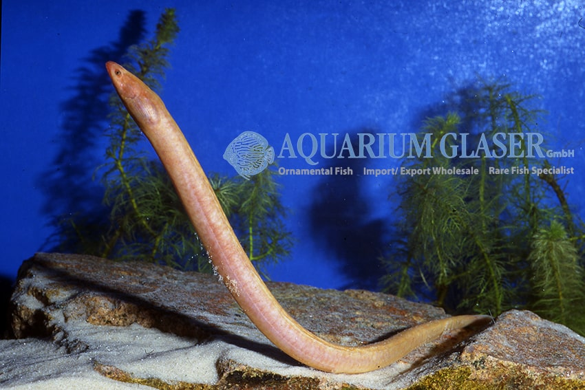 Monopterus albinus - Kiemenschlitz- oder Reisaale 1