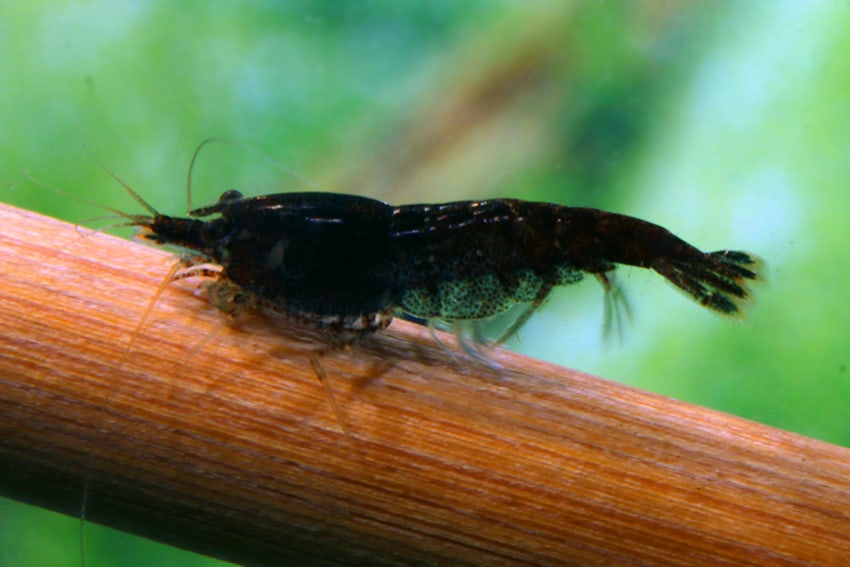 Neocaridina davidi (heteropoda) - Black-Fire-Garnele 3