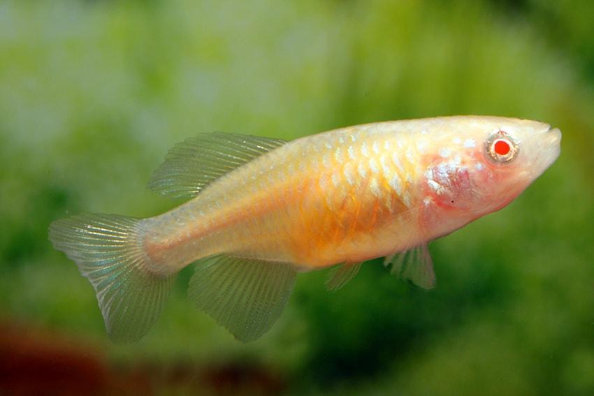 ALBINO - Foto: Aquarium Glaser - Frank Schäfer