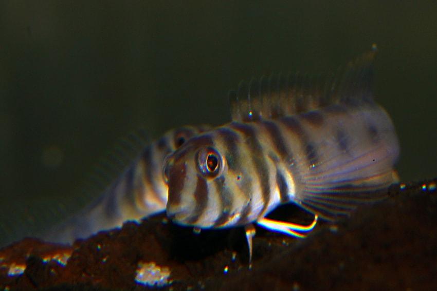Omobranchus zebra 3