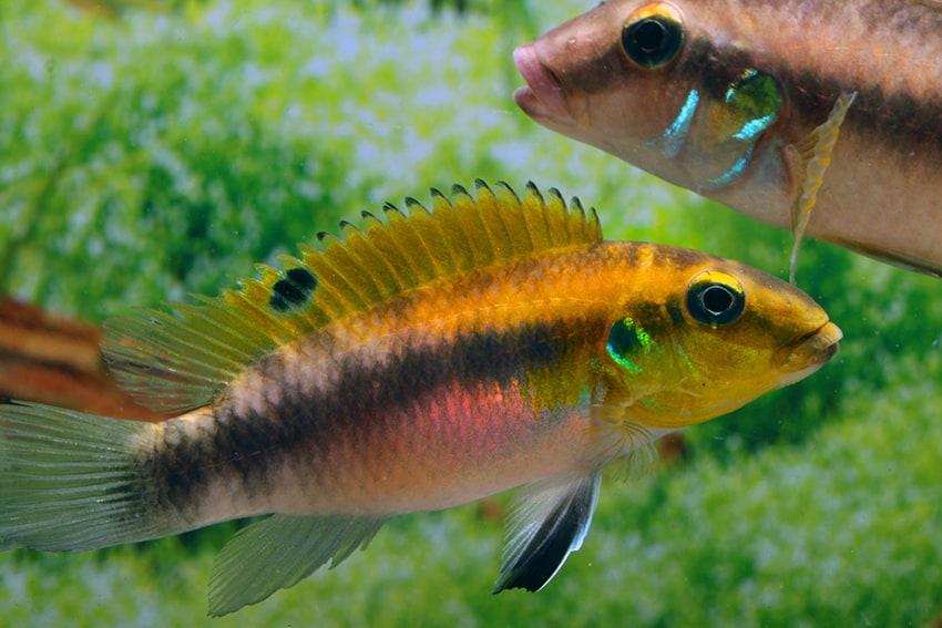 Pelvicachromis rubrolabiatus dikinyah 2