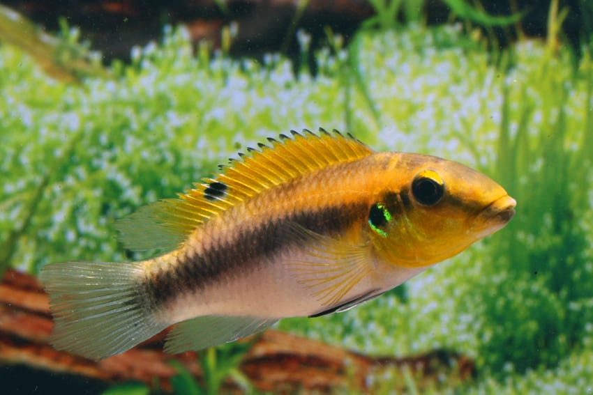 Pelvicachromis rubrolabiatus dikinyah 1