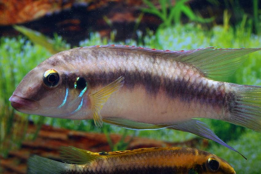 Männchen - Foto: Aquarium Glaser