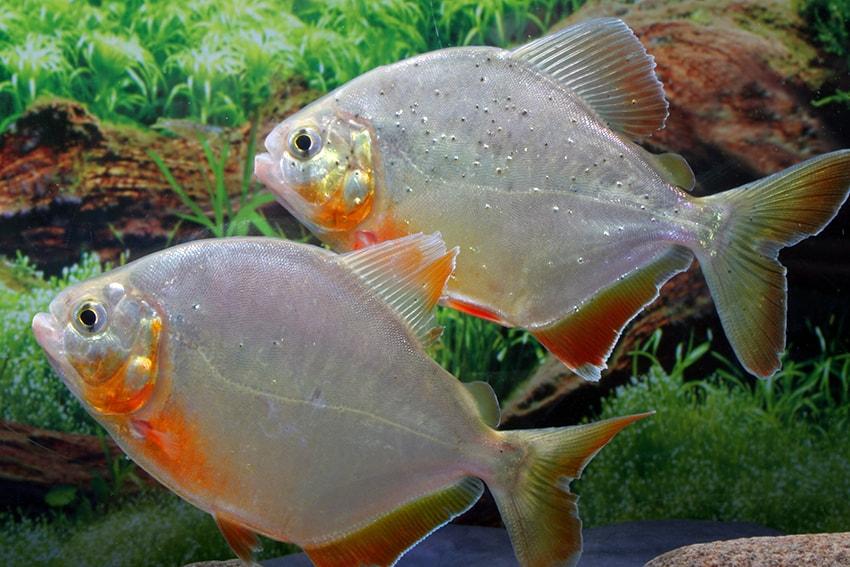 Pygopristis denticulata - Piranha 4