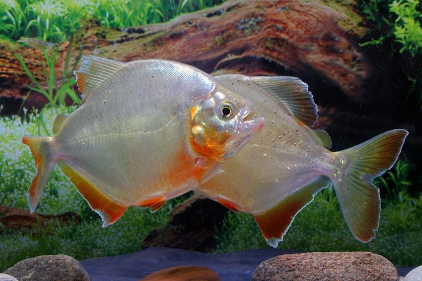 Pygopristis denticulata - Piranha 1