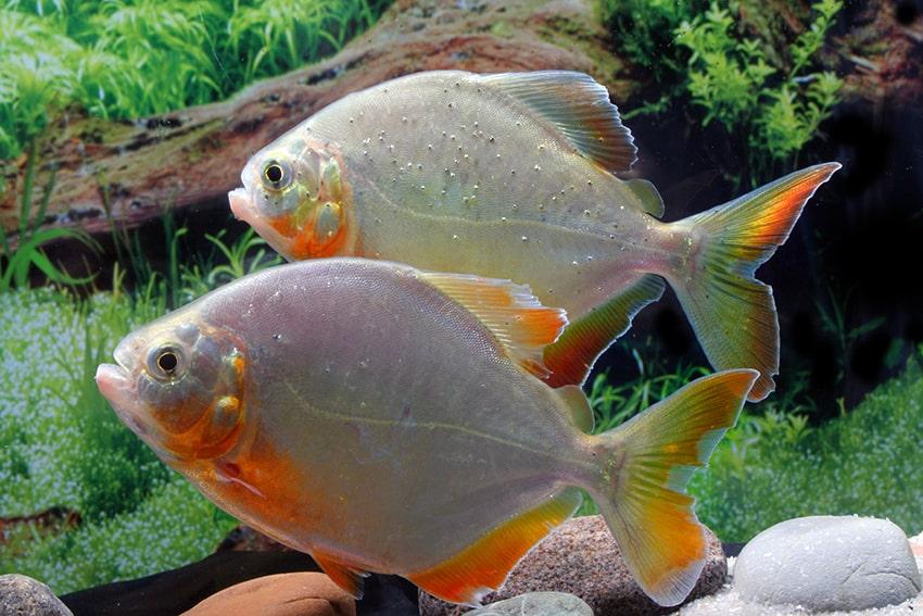 Pygopristis denticulata - Piranha 3