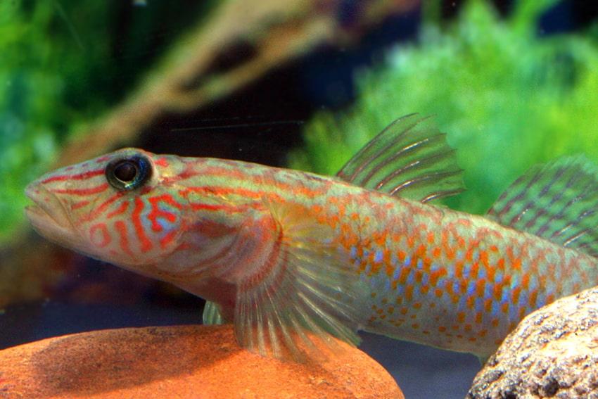 Weibchen - Foto: Aquarium Glaser - Frank Schäfer