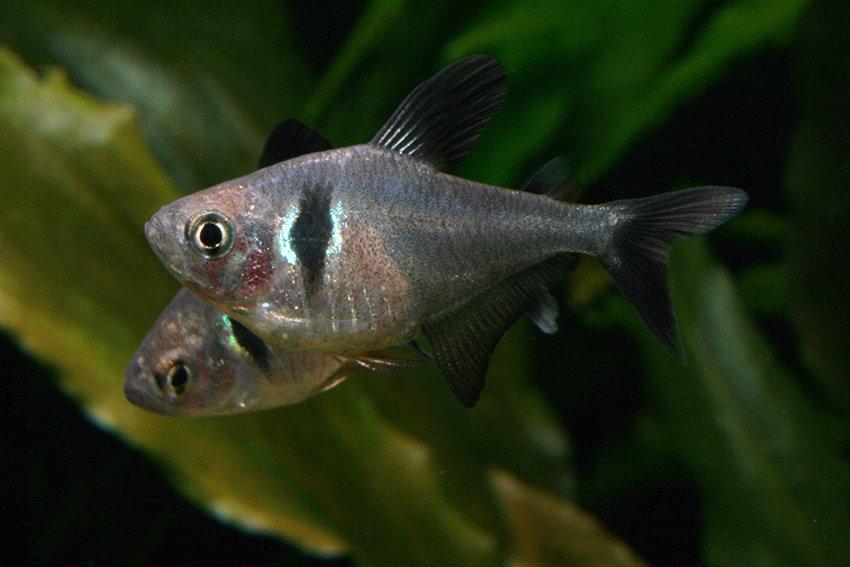 Megalamphodus megalopterus - Schwarzer Phantomsalmler 1