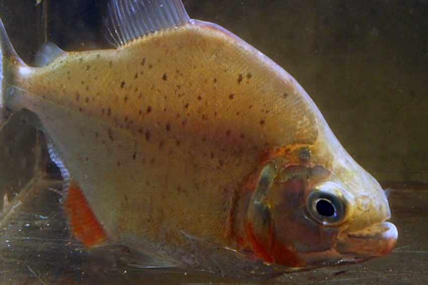 Serrasalmus cf. neveriensis - Piranha 2