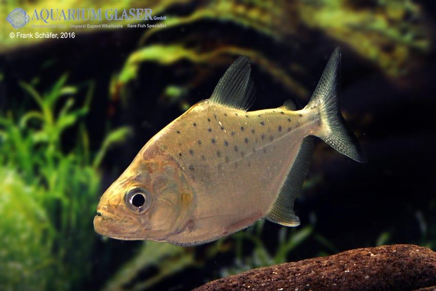 Serrasalmus compressus - Piranha 4