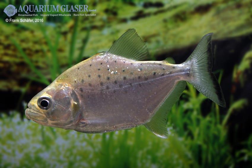 Serrasalmus compressus - Piranha 5