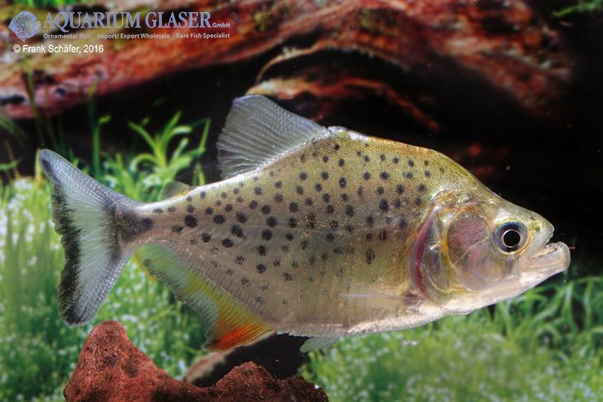 Serrasalmus compressus - Piranha 6