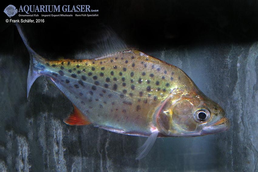 Serrasalmus compressus - Piranha 8