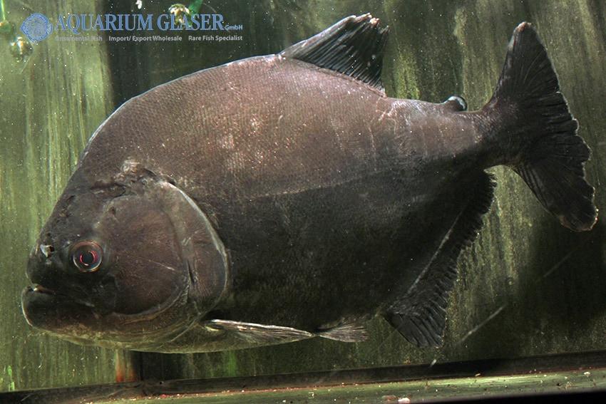 Serrasalmus Rhombeus Niger 3