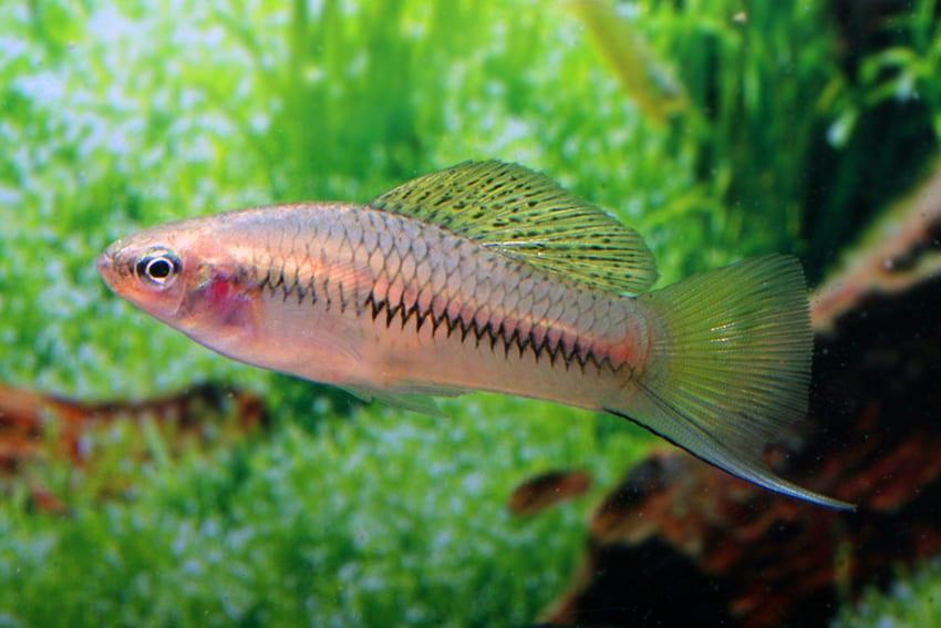 Xiphophorus cortezi 2