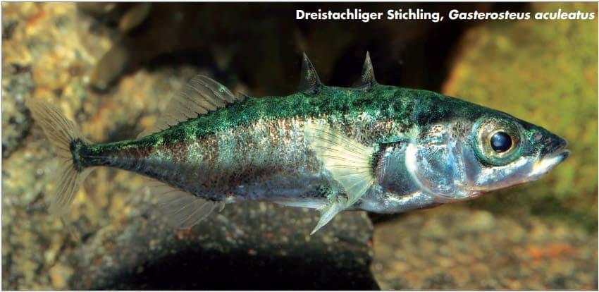 Alleinerziehende Fisch-Väter haben Köpfchen 3