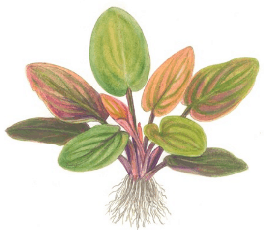 Lagenandra meeboldii 'Red' 4
