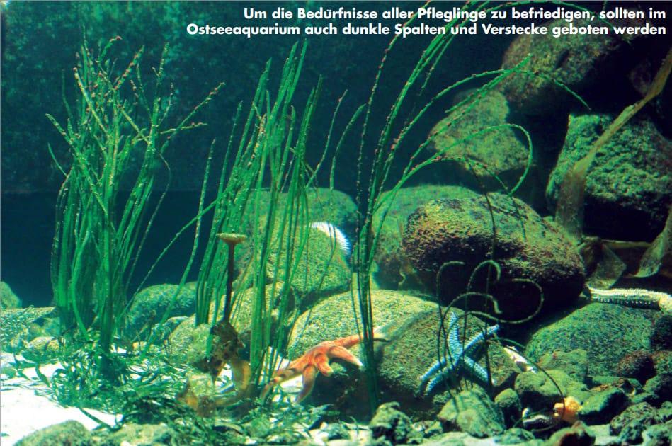 Mit Seegras und Tang kann man ein Ostseeaquarium begrünen