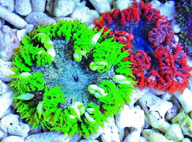 Die karibische Perlenanemone (Phymanthus crucifer) tritt in den schönsten Farbvarianten auf. Daniel Heerz