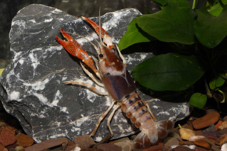 "Procambarus clarkii ""ghost"" 1"