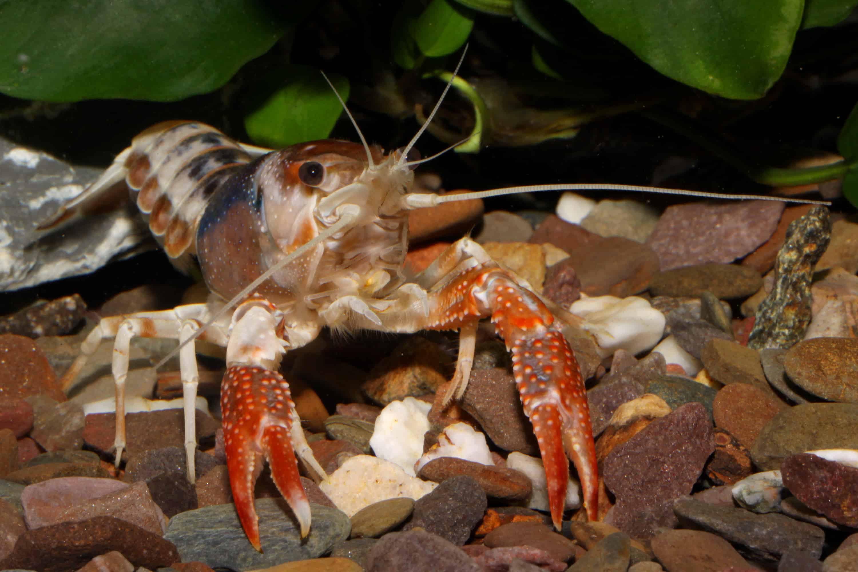 "Procambarus clarkii ""ghost"" 2"