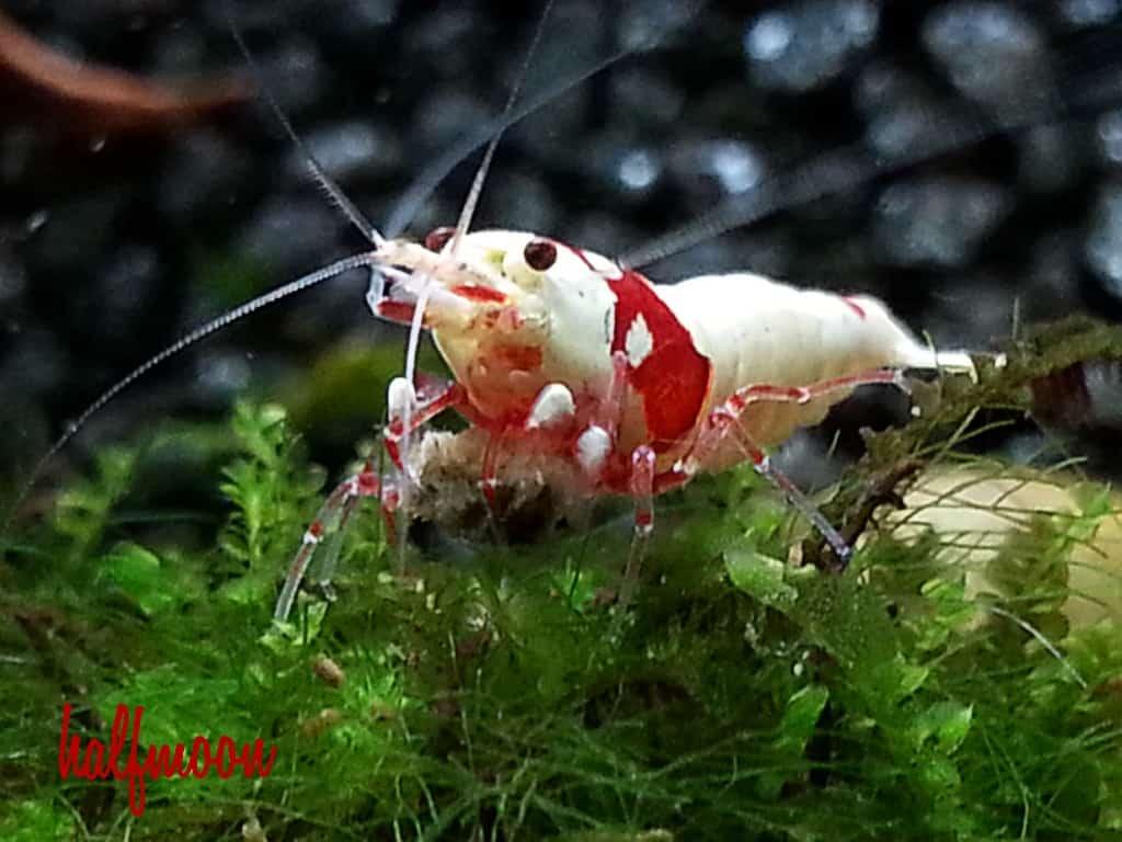 Caridina cf. cantonensis - Red bee 4