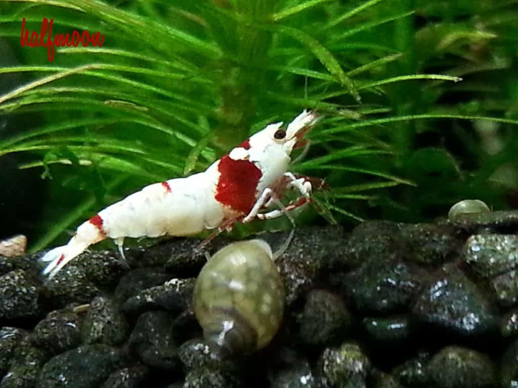 Caridina cf. cantonensis - Red bee 2