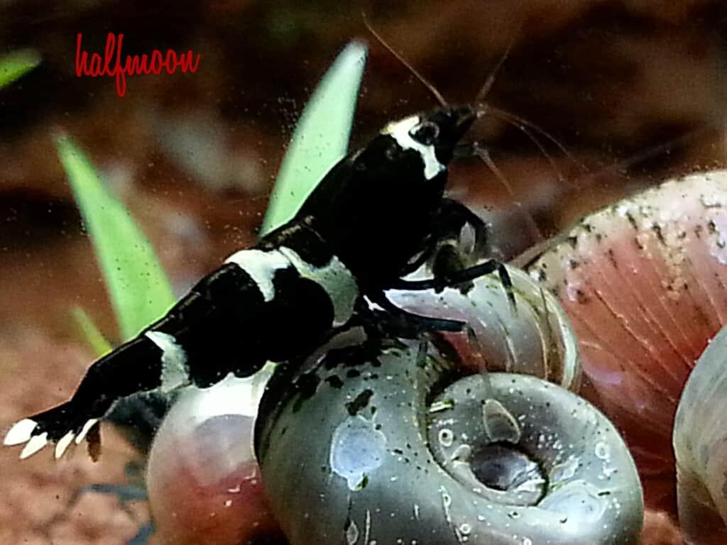 Caridina cf. cantonensis - Shadow bee 1