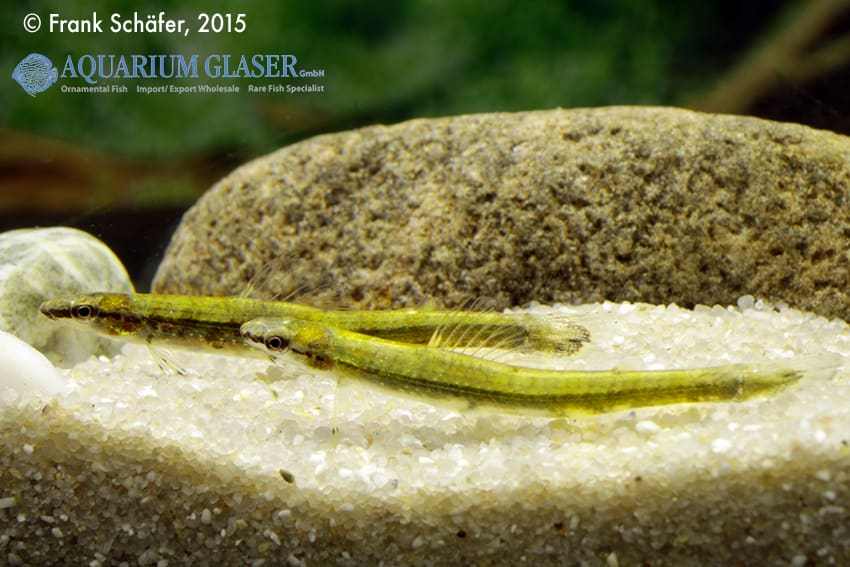 Ammocryptocharax elegans - Grüner Pfeilsalmler 3