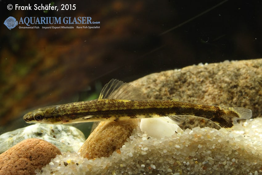 Ammocryptocharax elegans - Grüner Pfeilsalmler 5
